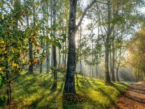 Primavera en el bosque de abedules