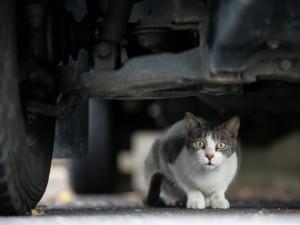 Gato escondido bajo un coche