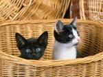 Dos gatitos curiosos en una cesta