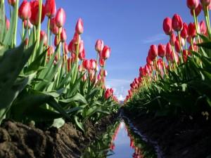 Gran campo de tulipanes