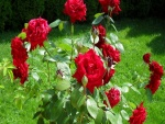 Rosal con bellas rosas rojas