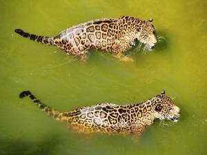 Dos jaguares nadando en el agua