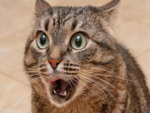 Gato con expresión sorprendida