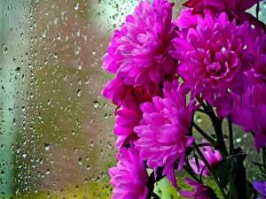 Crisantemos junto a una ventana mojada