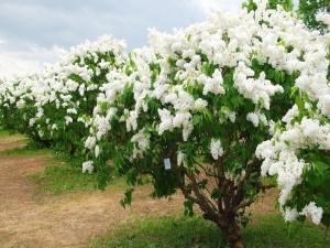Sensacionales lilas florecidas en primavera