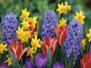 Bellos narcisos, jacintos y tulipanes en el jardín