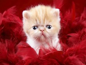 Fantástico gato entre plumas rojas