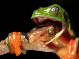 Espectacular imagen de una serpiente contra una rana