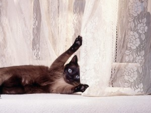 Gato enganchado en la cortina
