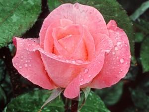 Una hermosa rosa