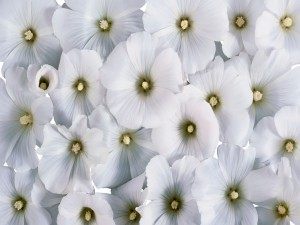 Blancas flores