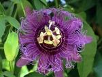 Flor del maracuyá