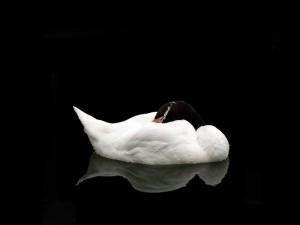 Bello cisne blanco y negro
