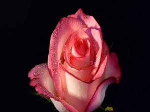Lindo pimpollo de rosa con gotitas