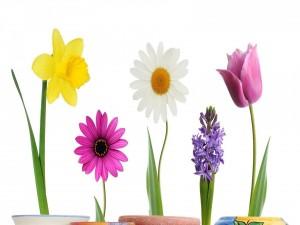 Jacinto, gerbera, narciso, margarita y tulipán en macetas