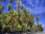 Grandes palmeras en la playa
