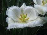 Un fantástico tulipán blanco