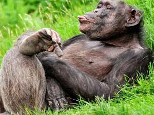 Chimpancé sentado en la hierba sacando la lengua