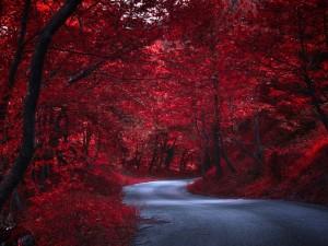 Camino a través de árboles rojos en otoño (Japón)