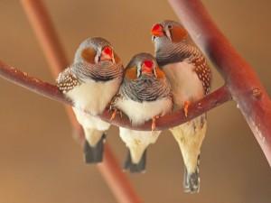 Tres pájaros en una rama
