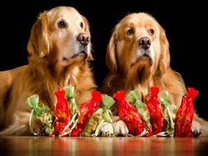 Dos perros perdigueros con regalos