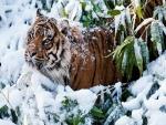 Tigre entre las ramas cubiertas de nieve