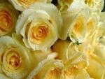 Rosas amarillas con gotas de agua