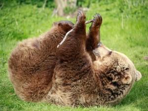 Oso pardo jugando con un palo en la hierba verde