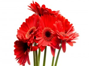 Bellas gerberas color rojo