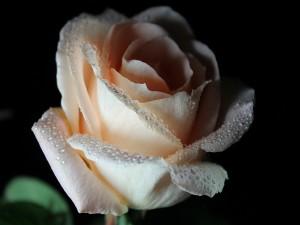 Rosa color crema en fondo negro