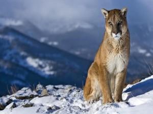 Puma sentado en la nieve