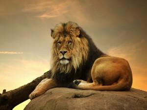 León tumbado en una roca