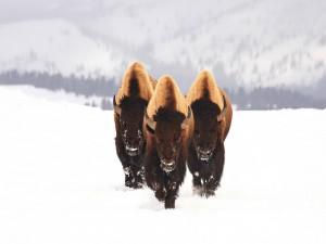 Tres bisontes caminando por la nieve