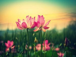 Hermosas flores de loto