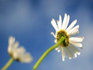 Tallo y pétalos de una flor blanca