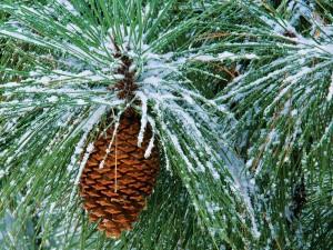 Nieve sobre las ramas del pino