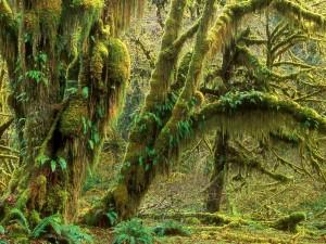 Bosque en el Parque nacional Olympic