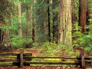 Hermoso bosque en el parque estatal Big Basin Redwood