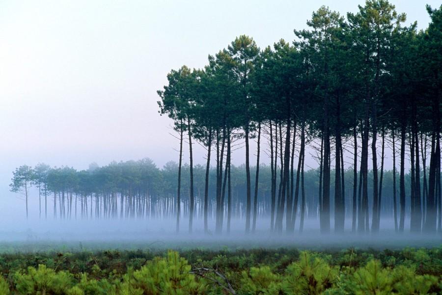 Niebla en un bosque de pino