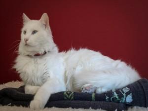 Gato de angora blanco