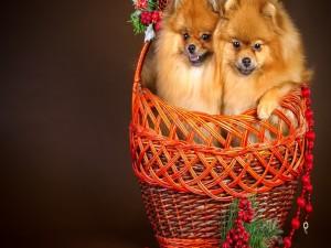 Dos perritos en una cesta