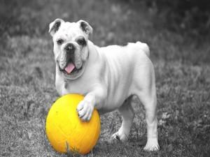 Bulldog con una pelota amarilla
