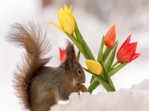 Ardilla en la nieve junto a unos tulipanes