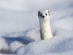 Armiño asomando en la nieve
