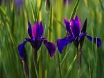 Lirios azules crecen entre la hierba verde