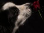 Border collie oliendo una rosa