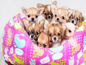 Chihuahuas acostados en un almohadón