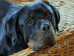 Rottweiler en una cesta