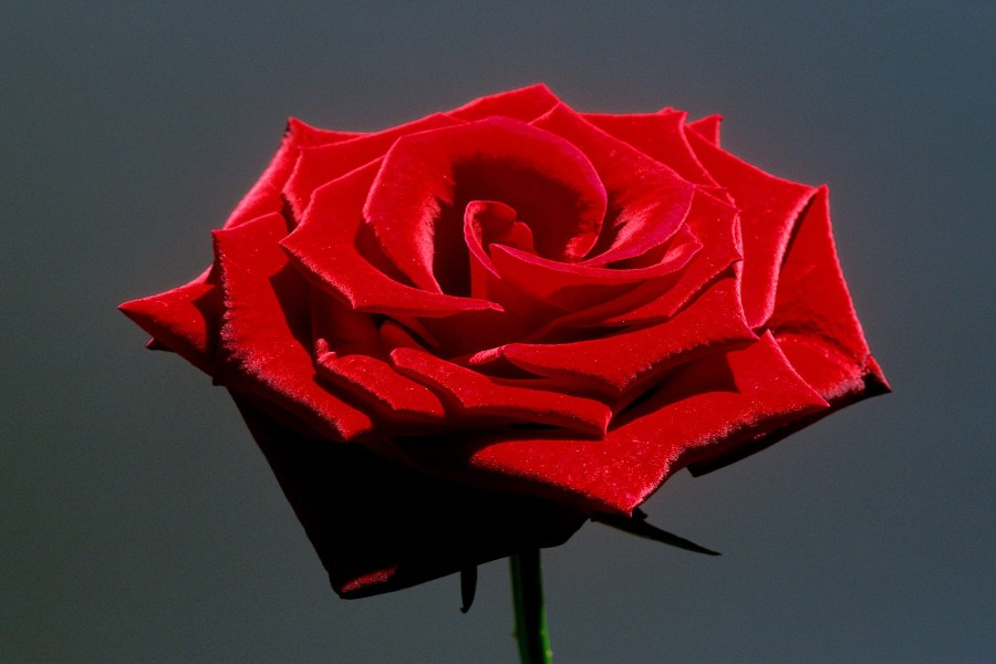 Una espléndida rosa roja