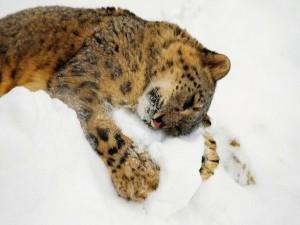 Leopardo tumbado en la nieve